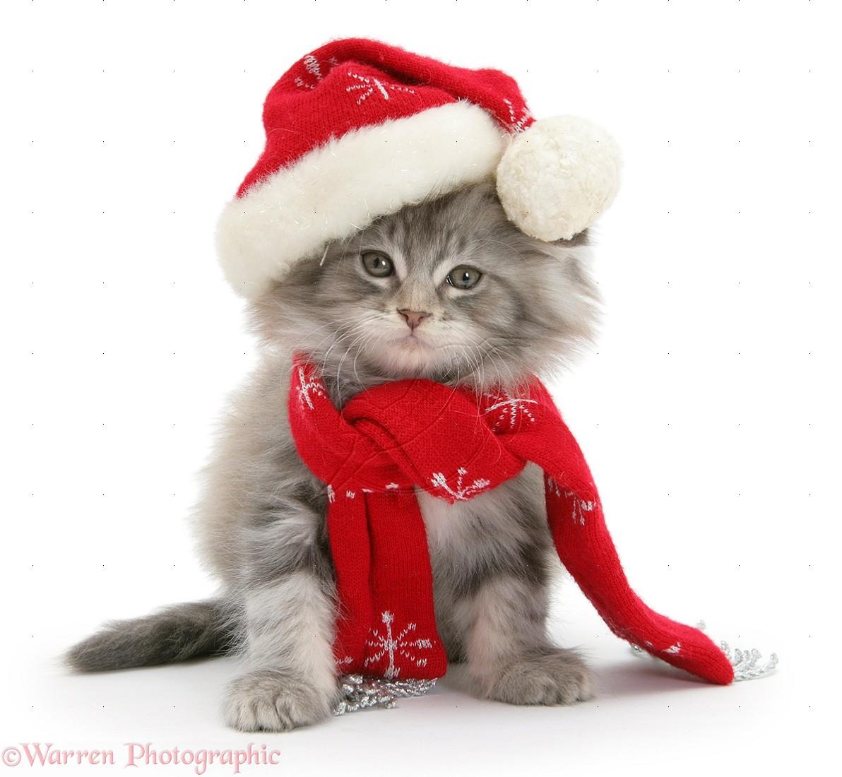 cute kittens wearing Christmas hats , Cute Kittens Photo