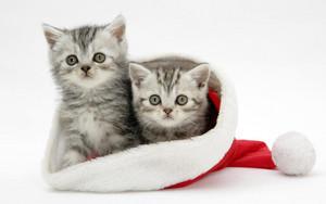 cute 子猫 wearing クリスマス hats