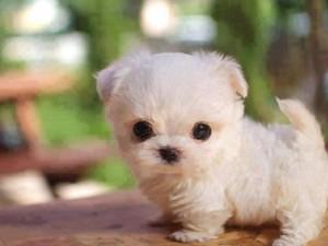 d46cca62b867c87c08b04053c477da4c tiny puppies adorable puppies