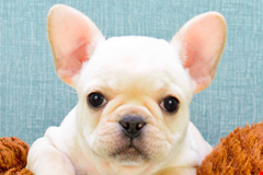 french bulldog frenchie puppies for sale and adoption in ohio pennsylvania 635918496634658467