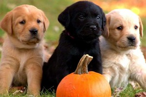 labs too cute puppies 03 625x450 1