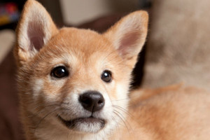 shiba inu cute 小狗