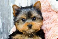teacup yorkshire terrier   yorkie puppies for sale and adopt in ohio 635908079855182484