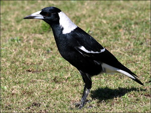 australia magpie, magpie australia