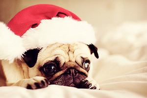 クリスマス Pug