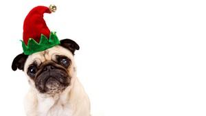 क्रिस्मस Pug