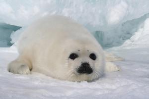 Harp zeehond, seal Pup