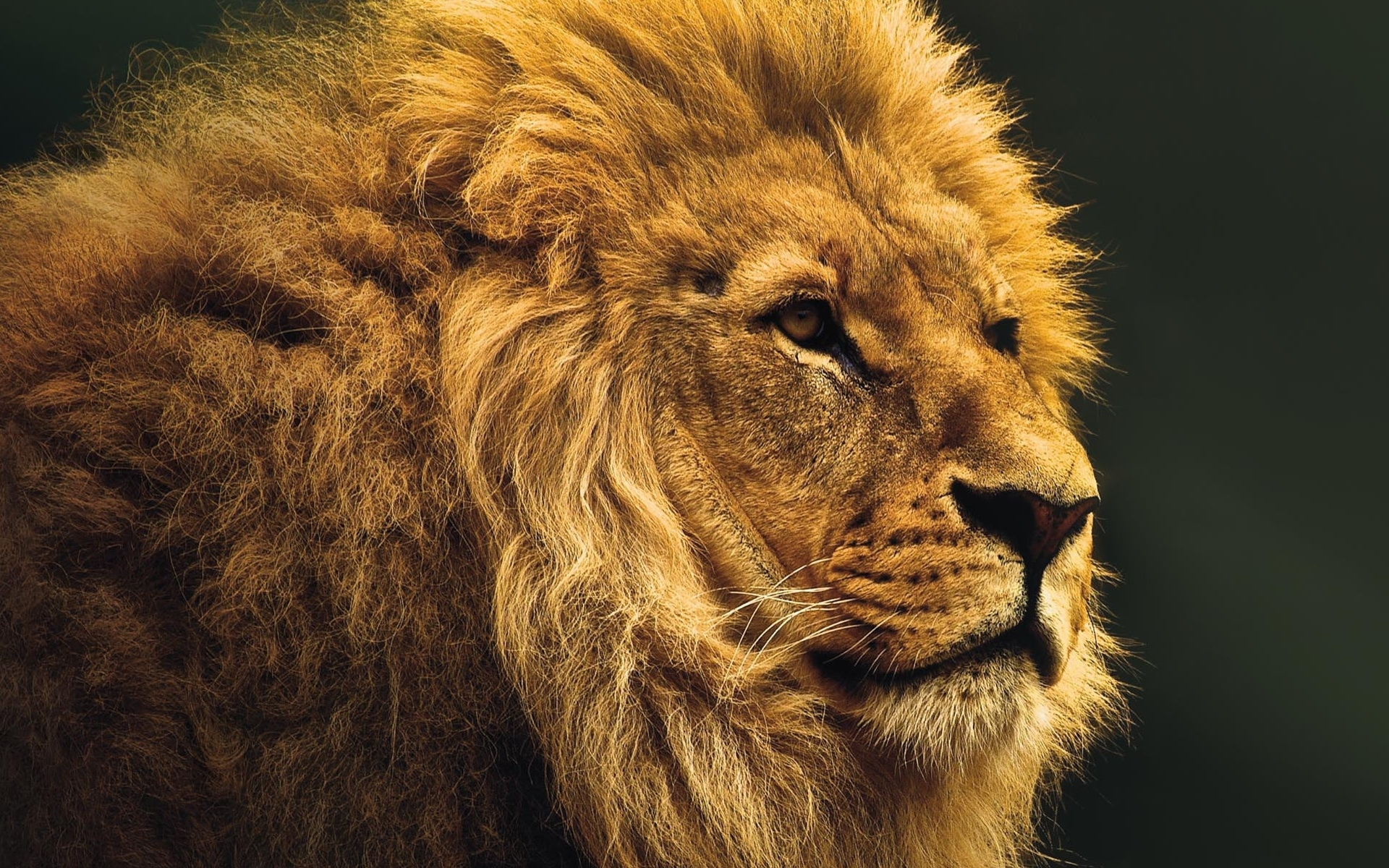Lion   binatang wallpaper 20   fanpop