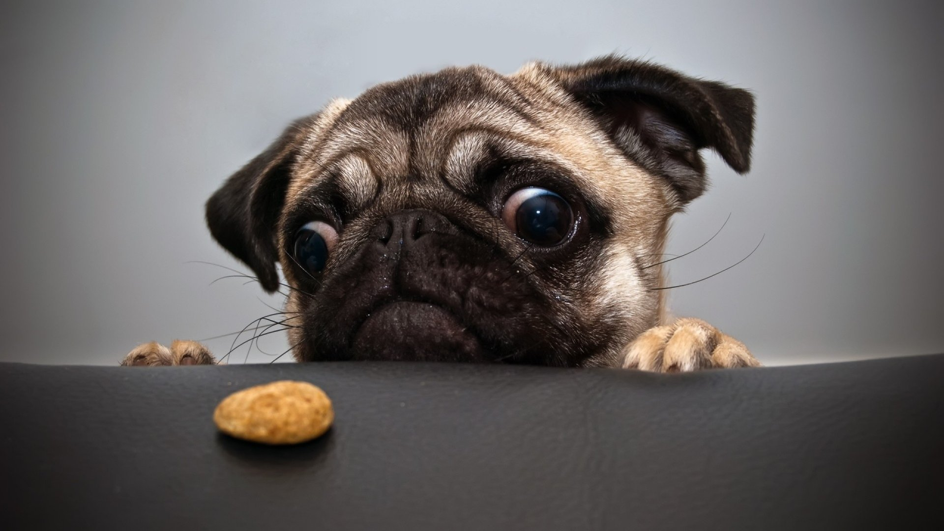Pug and a cookie