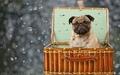 Pug  - pugs wallpaper