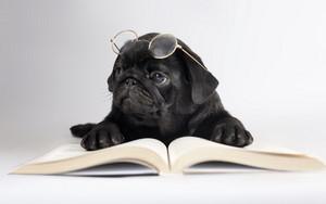 Pug reading a book