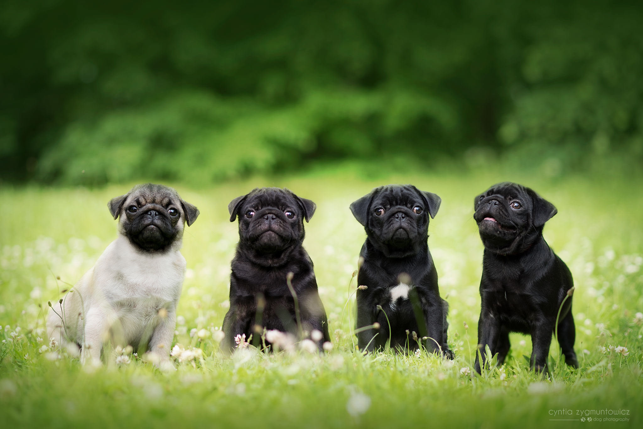 Pugs For Sale Ads Gumtree Classifieds South Africa 1000 pugs photo gallery