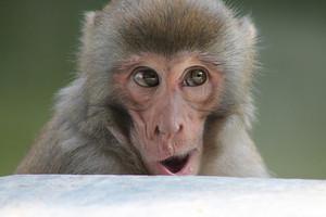 bila mpangilio Monkey Business