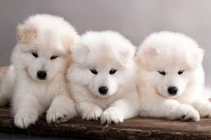 Samoyed cachorritos