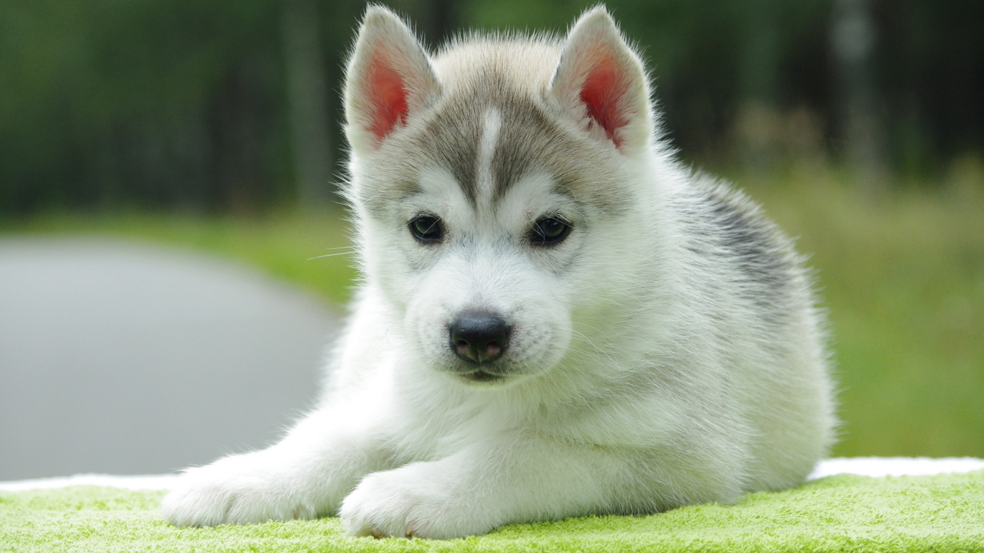 80smusiclover1 Images Siberian Husky Puppy Hd Wallpaper And
