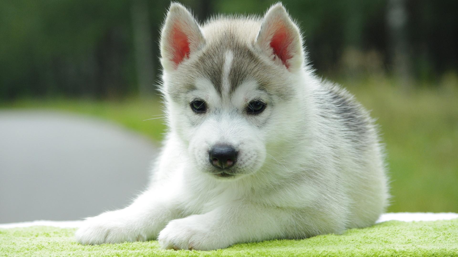 Siberian Husky perrito, cachorro
