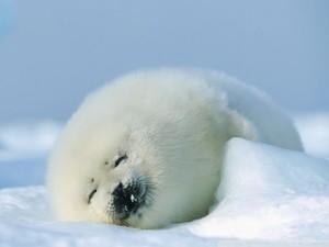 Sleeping Harp zeehond, seal Pup