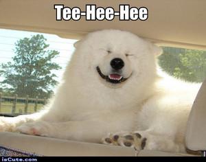 Smiling Samoyed meme