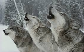 loups Howling