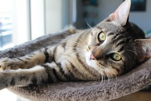 Beautiful Tabby Kitty