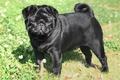 A Black Pug - pugs photo
