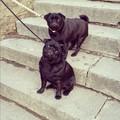 Black Pugs - pugs photo