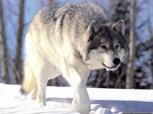Grey serigala, wolf