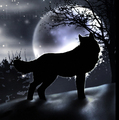 Midnight Wolf - wolves photo