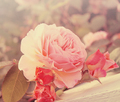 Pinkie Spring - daydreaming photo