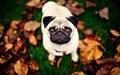 Pug Autumn wallpaper - pugs wallpaper