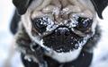 Winter Pug - pugs wallpaper