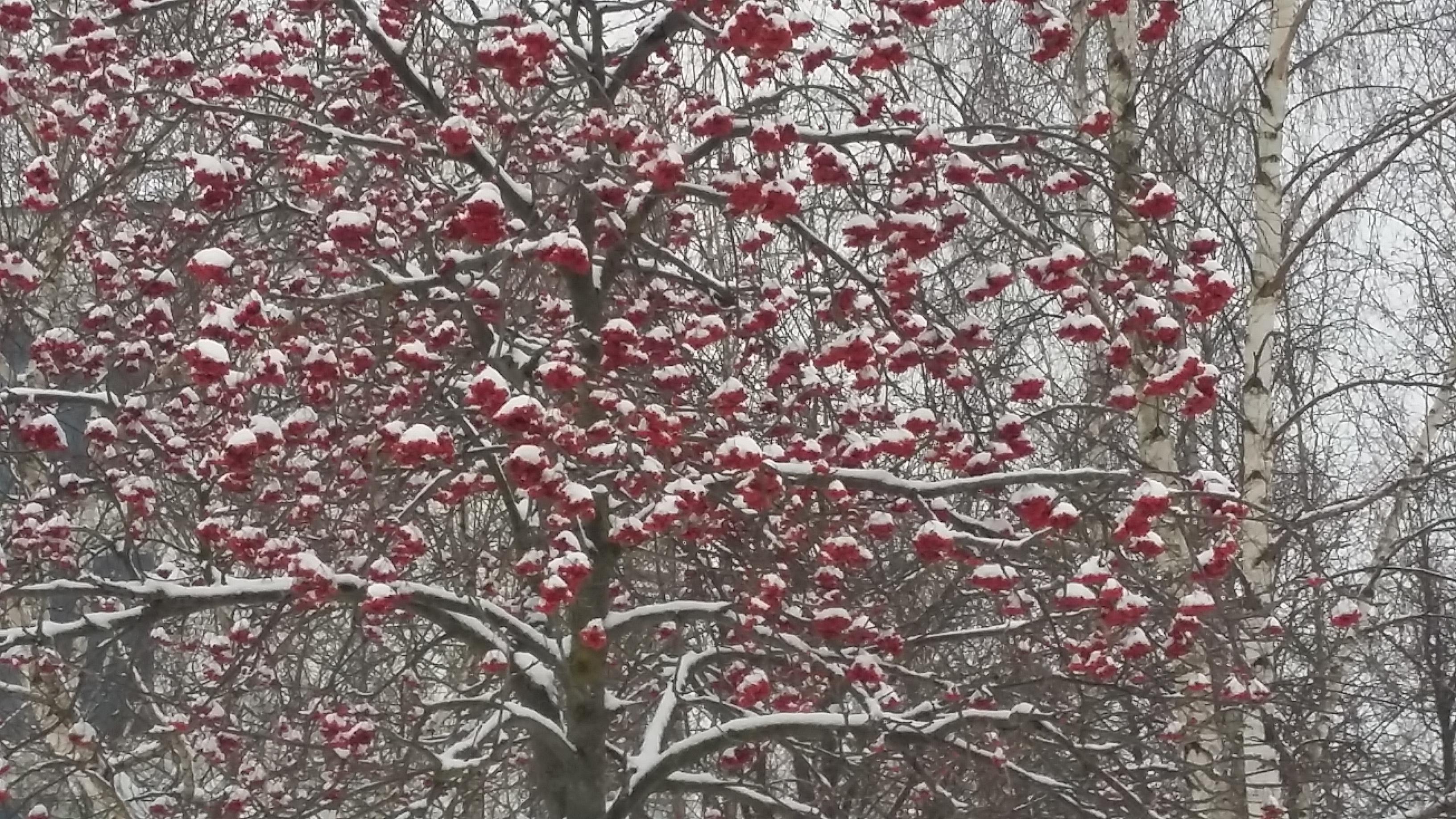 Winter berries - Have fun! Wallpaper