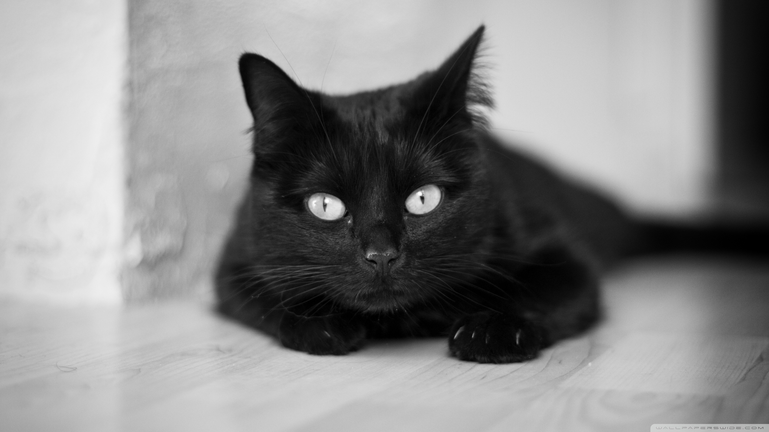 Cats Images Beautiful Black Cat Hd Wallpaper And Background Photos