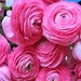 Beautiful Pink Roses - roses icon