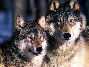 Beautiful Serigala 💐
