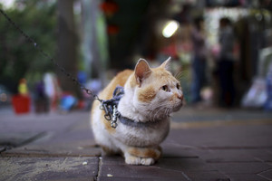 Cat On A Chain