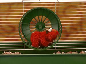 Elmo as a Pet hamster (Elmo's World)