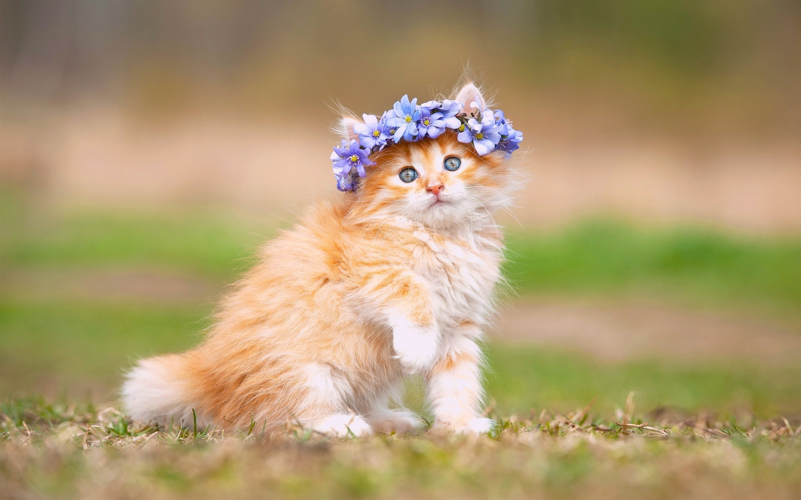 Cats Images Maine Coon Kitten Hd Wallpaper And Background Photos