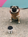 Pug cafe - pugs photo