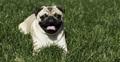 Pug - pugs photo