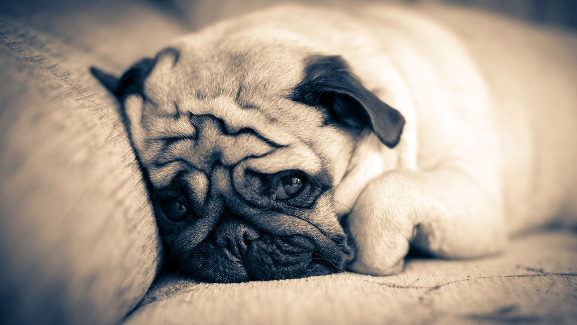 Pugs images Pug HD wallpaper and background photos