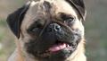 Pug sweety - pugs wallpaper