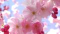 image - cherry-blossom photo