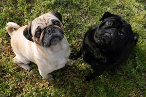 A 讨好, 小鹿 Pug and a Black Pug