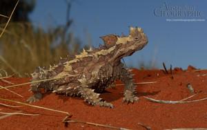 Australia Thorny devil