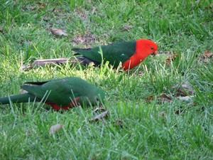 Australian King burung beo, kakatua