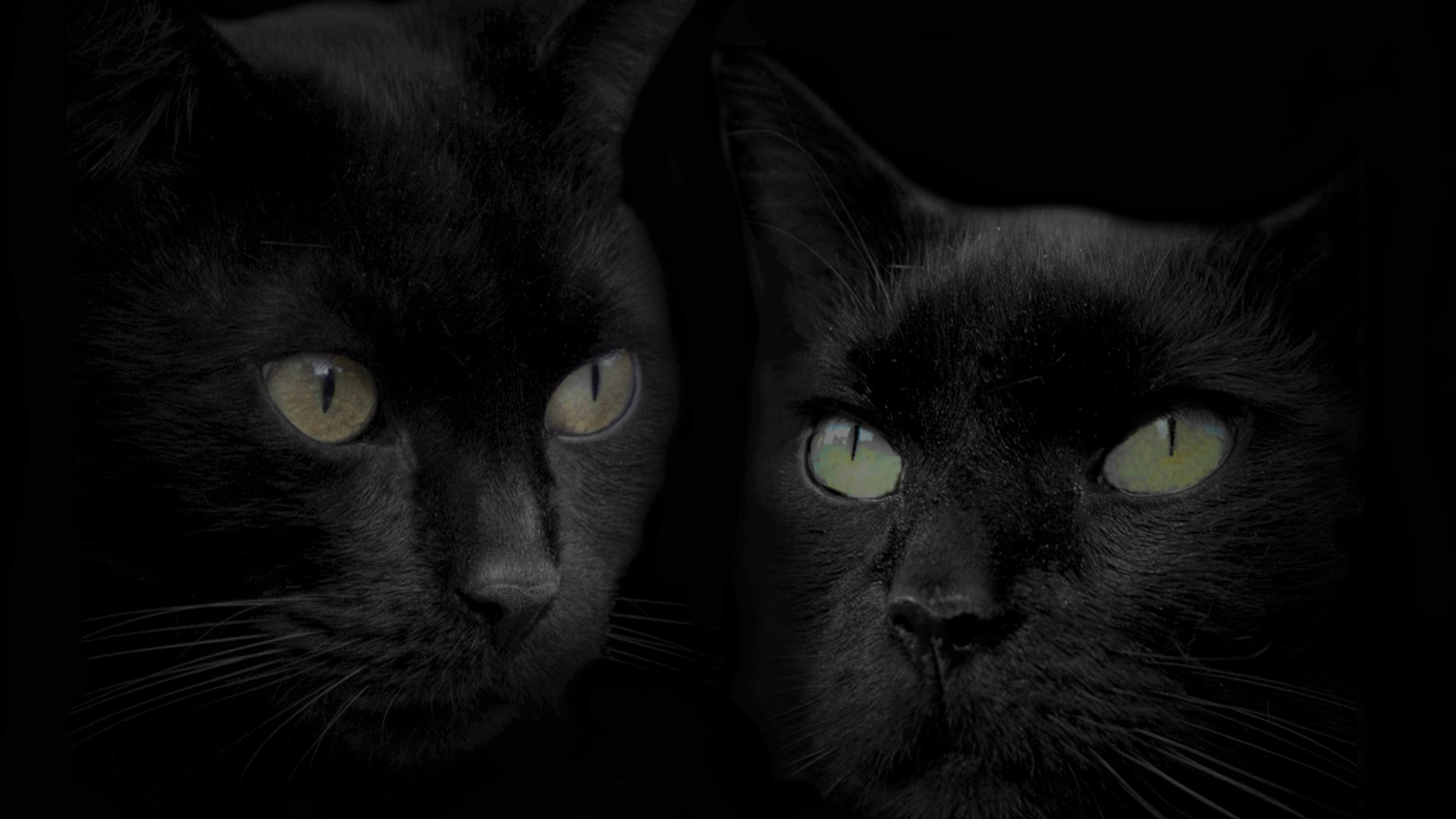 Cats Images Beautiful Black Cats Hd Wallpaper And Background Photos