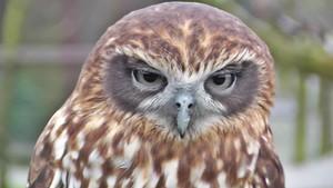 Boo Book Owl