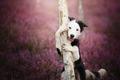 Border collie🌺 - animals photo