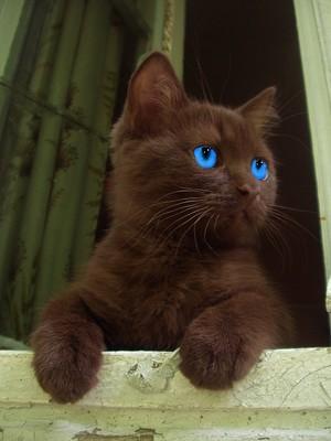 Brown gatos